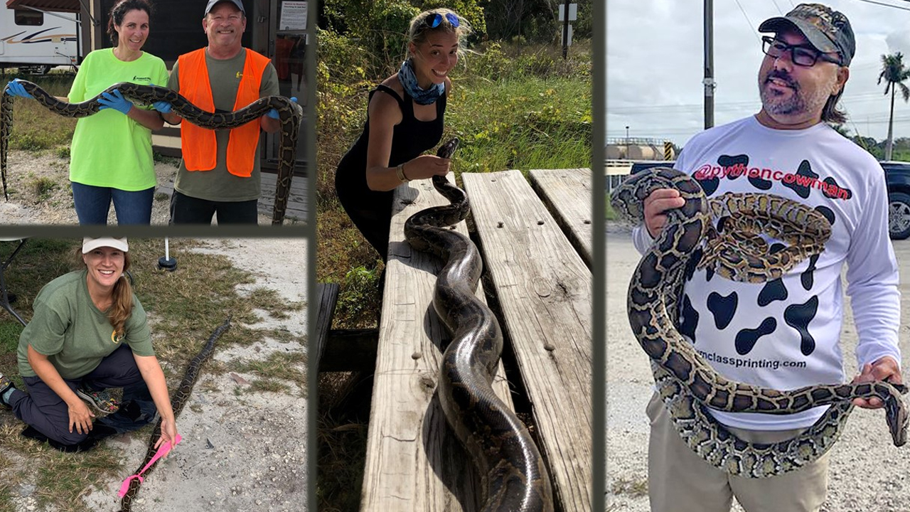 Python hunters hard at work as 'Python Bowl' continues, FWC said